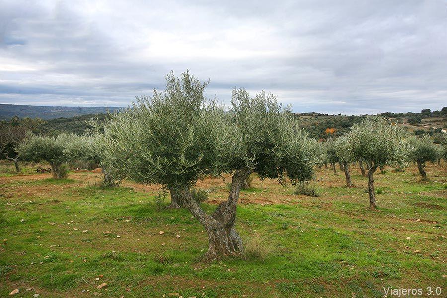 olivos los Arribes del Duero, enoturismo