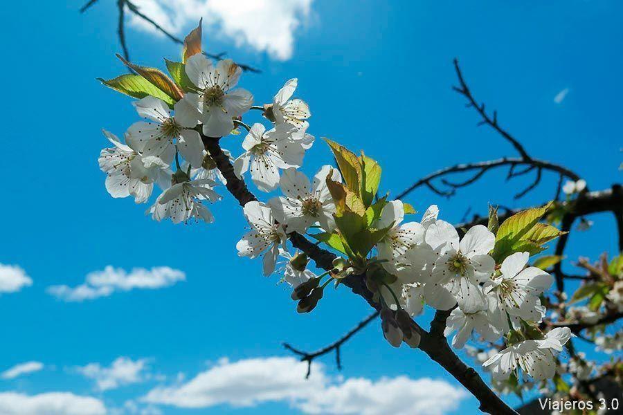 cerezos en flor en el Valle de Caderechas
