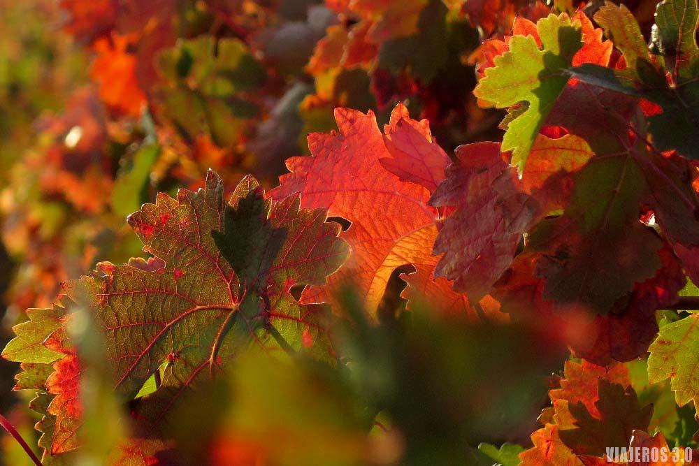 Viñedos de La Rioja en otoño, hojas de colores