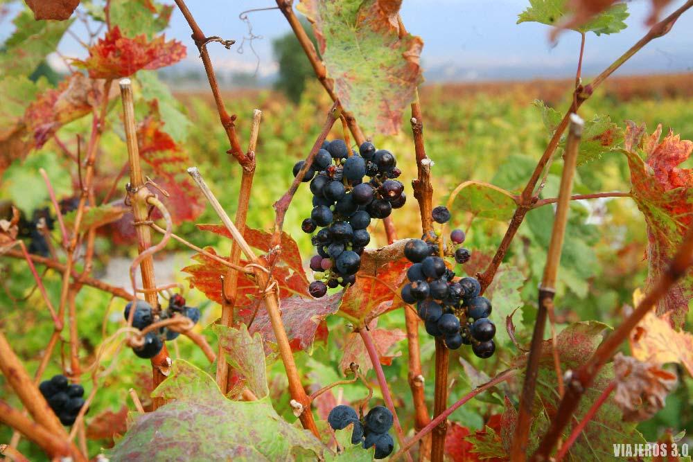 Viñedos de La Rioja en otoño, Vivanco.