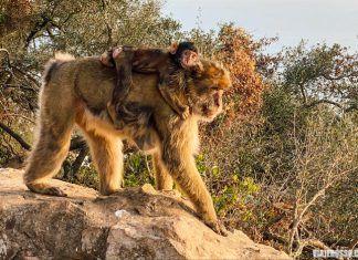 Monos en Gibraltar, qué ver y visitas recomendadas