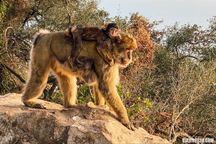 Monos en libertad en Gibraltar.