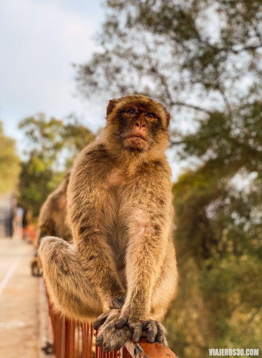 Monos de Gibraltar.
