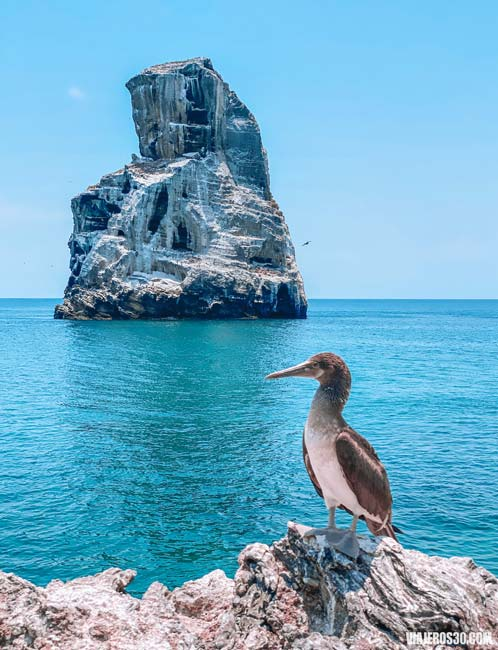 Pájaro bobo de patas azules en la isla Isabel en México